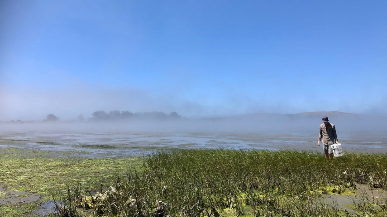 Blake searching through the salt marsh in Bodega Bay for the lined shore crab (Pachygrapsus crassipes). PC: Jan Walker