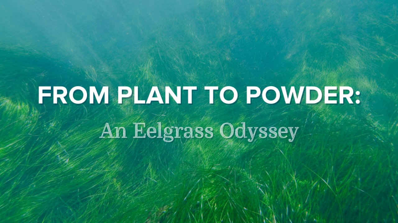 From Plant to Powder: An Eelgrass Odyssey