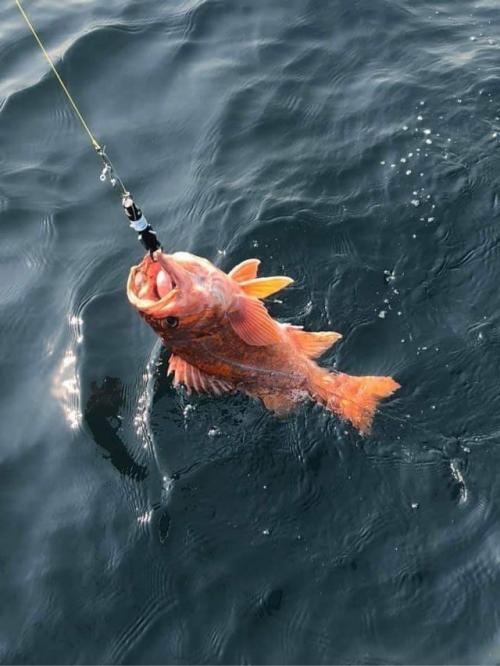 A Canary Rockfish (Sebastes pinniger) being lowered back into the ocean after being caught offshore of Bodega Head for research purposes.
