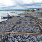 Drying racks filled with fish along a shoreline